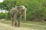 Raju can now walk as a free elephant
