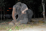 Raju cries tears of joy knowing he is being rescued. Notice the dark patch running down from his eyes.